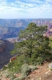 Albero del grande canyon Immagini Stock
