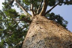 Albero del Kauri, agathis australe Fotografia Stock Libera da Diritti