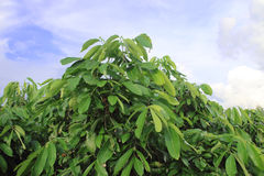 Albero del Longan nel frutteto del longan Fotografia Stock Libera da Diritti