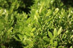 Albero del mastice, lentiscus del pistacchio dal mare immagini stock