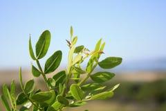 Albero del mastice, lentiscus del pistacchio dal mare fotografia stock