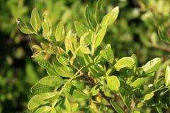 Albero del mastice, lentiscus del pistacchio dal mare fotografie stock
