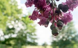Albero del mirto di crêpe dopo la pioggia con i fiori ed i germogli Immagini Stock Libere da Diritti