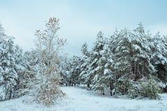 Albero del nuovo anno paesaggio di inverno della foresta di inverno nel bello con gli alberi innevati Alberi coperti di hoarfrost Fotografie Stock