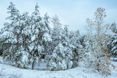 Albero del nuovo anno paesaggio di inverno della foresta di inverno nel bello con gli alberi innevati Alberi coperti di hoarfrost Immagine Stock Libera da Diritti