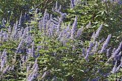 Albero del pepe in fiore fotografia stock
