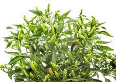 albero del peperoncino rosso immagini stock