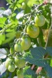 Albero del pomodoro Fotografia Stock