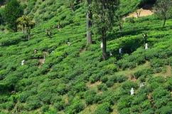 Albero del raccolto della donna nella grande pianta dell'albero di estate Immagini Stock