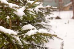 Albero del ramo del pino sotto neve Immagini Stock
