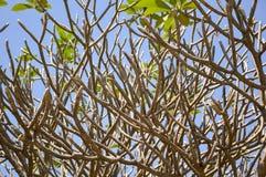 Albero del ramo di plumeria Immagini Stock