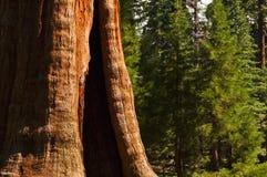 Albero del Redwood in priorità alta della foresta Fotografie Stock Libere da Diritti