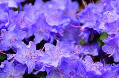 Albero del rododendro immagine stock