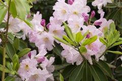 Albero del rododendro Fotografia Stock Libera da Diritti