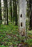 Albero del ` s del picchio in foresta Immagini Stock