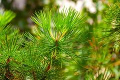 Albero del sempreverde della conifera Fotografie Stock