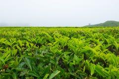 Albero del tè nelle piantagioni di tè a Cameron Highlands, Malesia Fotografia Stock Libera da Diritti