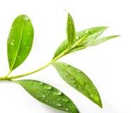 Albero del tè (sinensis di Thea) Fotografia Stock