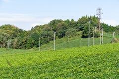 albero del tè verde Immagine Stock Libera da Diritti