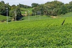 Albero del tè verde in azienda agricola Immagine Stock