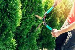 Albero del thuja di taglio con i tagliatori della barriera del giardino immagine stock