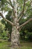 Albero del tronco di Bobbly Immagine Stock