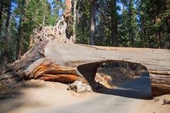 Albero del tunnel nel parco nazionale della sequoia Fotografie Stock Libere da Diritti