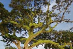 Albero dell'acacia Fotografia Stock