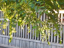 Albero dell'acacia fotografie stock libere da diritti