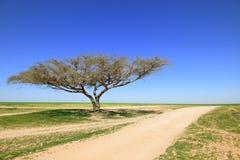 Albero dell'acacia Immagini Stock