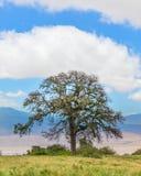 Albero dell'acacia, area di conservazione di Ngorongoro, Arusha, Tanzania, Afr Fotografia Stock Libera da Diritti