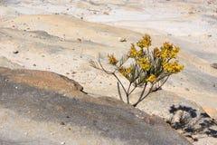 Albero dell'acacia che spinge attraverso le rocce Fotografia Stock Libera da Diritti