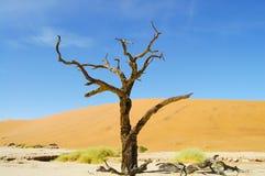 Albero dell'acacia di Deadvlei - Sossusvlei fotografia stock libera da diritti