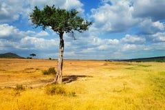 Albero dell'acacia in priorità alta di paesaggio africano Fotografia Stock