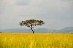 Albero dell'acacia sul Serengeti Immagini Stock Libere da Diritti
