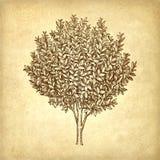 Albero dell'alloro royalty illustrazione gratis