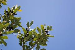 Albero dell'alloro (nobilis di larus) con frutta Fotografia Stock Libera da Diritti