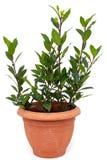 Albero dell'alloro in vaso da fiori su bianco Fotografia Stock Libera da Diritti