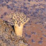 Albero dell'aloe in Namibia Immagini Stock