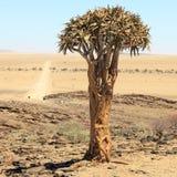 Albero dell'aloe nel deserto in Namibia Immagini Stock