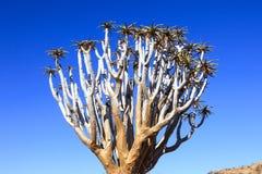 Albero dell'aloe nel deserto in Namibia Immagine Stock