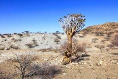 Albero dell'aloe nel deserto in Namibia Fotografia Stock Libera da Diritti