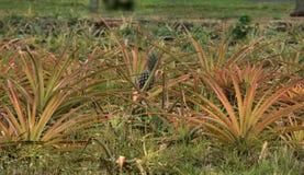 Albero dell'ananas Fotografie Stock