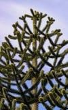 Albero dell'araucaria Immagine Stock Libera da Diritti