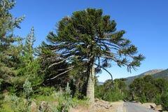 Albero dell'araucaria vicino alla strada fotografia stock libera da diritti