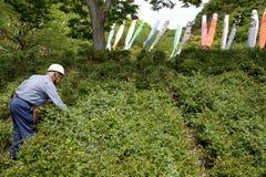Albero dell'arbusto della potatura del giardiniere con i tagli Immagini Stock Libere da Diritti