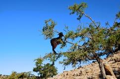 Albero dell'argania spinosa fotografie stock