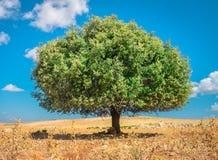Albero dell'argania spinosa al sole, il Marocco fotografia stock