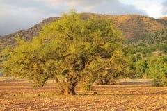 Albero dell'argania spinosa alla luce di tramonto Fotografia Stock Libera da Diritti