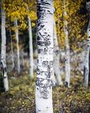 Albero dell'Aspen con le sculture fotografia stock libera da diritti
